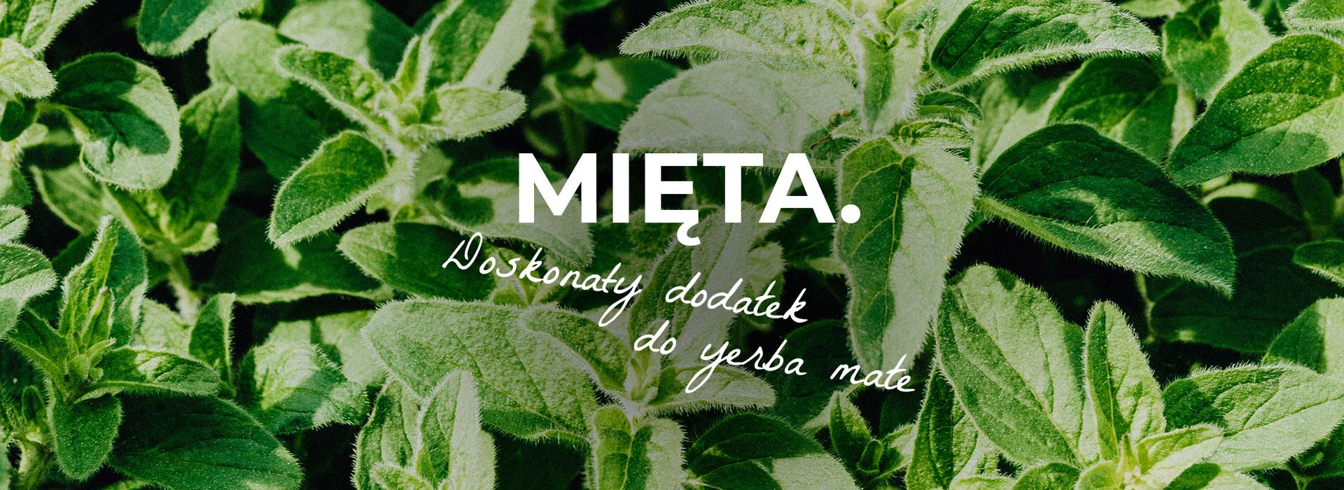Mięta to bardzo popularne ziele o działaniu kojącym, rozkurczowym oraz regulującym układ pokarmowy.     | ZielonyTarg.pl